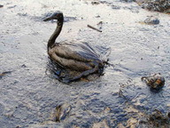 Duck coated by oil spill