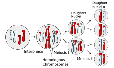Mitosis and Meiosis Simulation