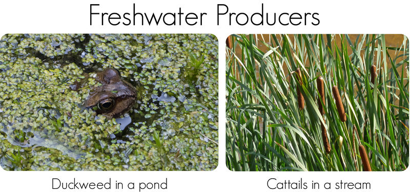 Duckweed and cattails are respectively the primary producers in standing and running freshwater biomes