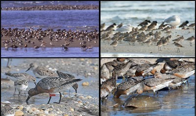 Thousands of Red Knots migrate through New Jersey