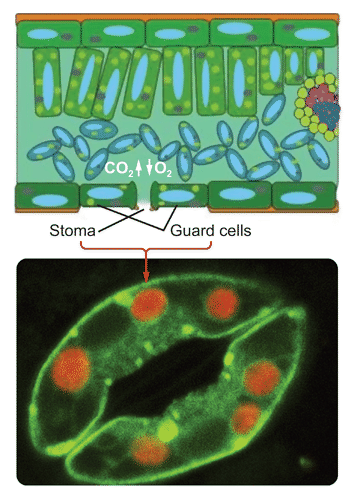 Stomata and guard cells on leaves