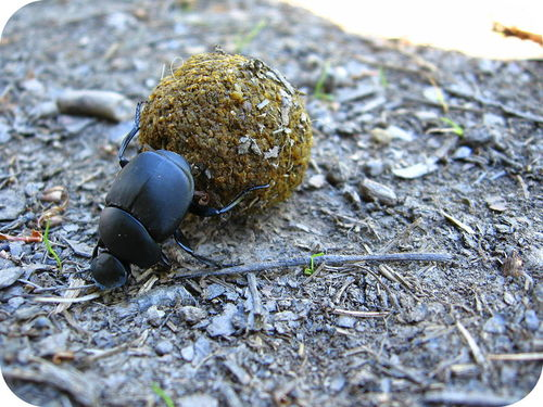 A dung beetle is an example of a detritivore