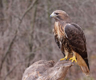 Buteo jamaicensis: Red-tailed Hawk