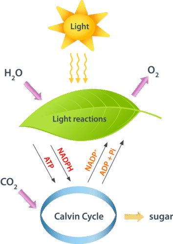 Light Reactions Read Biology Ck 12 Foundation