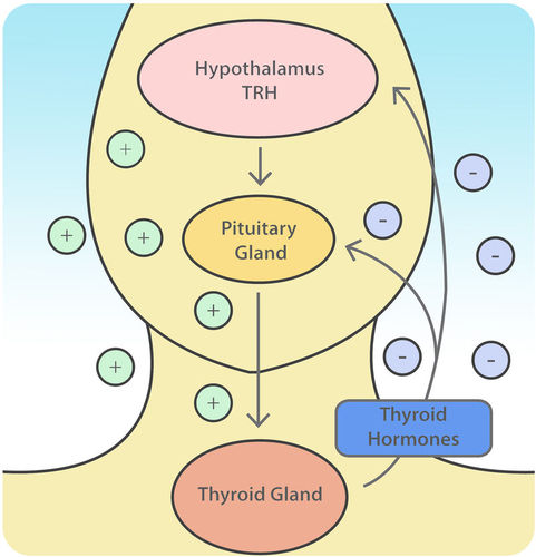 Regulation of the thyroid gland
