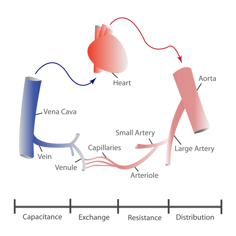 there are three major types of blood vessels: arteries, veins, and  capillaries  all three are shown in figure below and described below