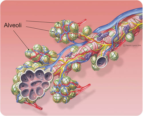 An alveoli is lined with capillaries that promote gas exchange