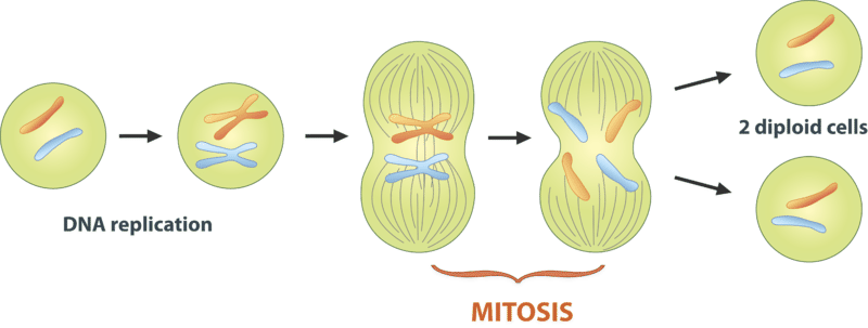 cell division interphase mitosis and cytokinesis A nuclear division (mitosis) followed by a cell division (cytokinesis) the period between mitotic divisions - that is, g1, s and g2 - is known as interphase mitosis.