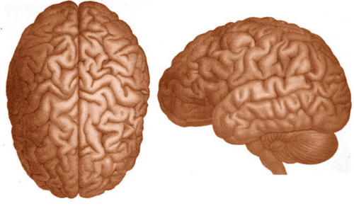 This side view of the brain illustrates the three major parts of the brain