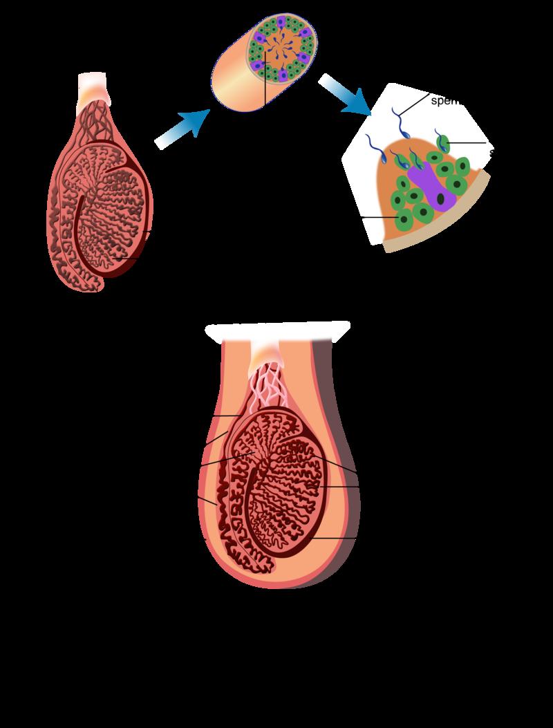 Sex Organs Ck 12 Foundation