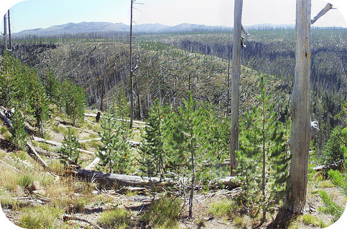 The burnt forest here was slowly replaced by small grasses that are now being replaced by small trees and shrubs
