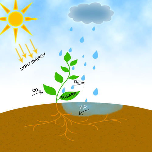 Light Reactions of Photosynthesis