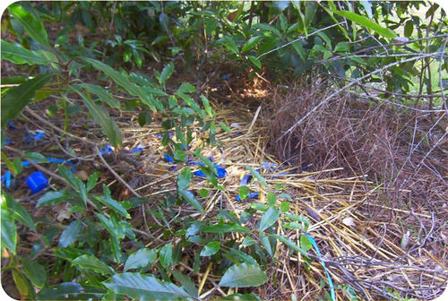 Male bowerbird decorating his nest