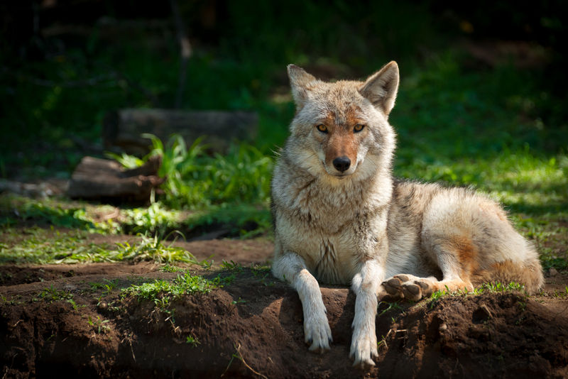 Canis latrans: Coyote