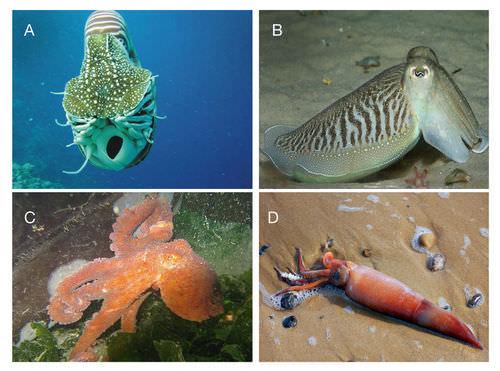 Types Of Mollusks Read Biology Ck 12 Foundation