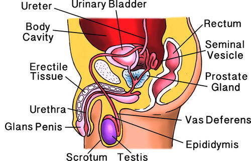 Structures of the male reproductive system.