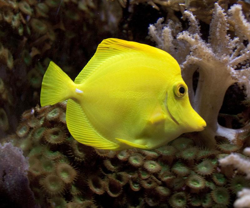 Vertebrate characteristics read biology ck 12 for Yellow tang fish