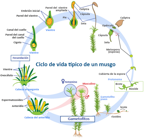 Ciclo De Vida De Las Plantas No Vasculares Ck 12 Foundation