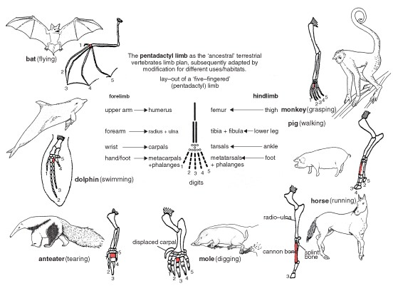 anatomy evolution worksheet 01082018 comparative anatomy:  of different species of animals in order to understand the adaptive changes they have undergone in the course of evolution from.