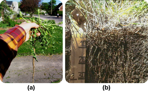 Taproot versus fibrous root system
