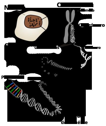 Cromosomas Humanos Y Genes Read User Generated Content Ck 12 Foundation