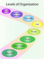 Illustrates the different levels of cellular organization within a human