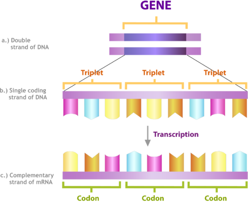 what is the significance of the first and last codons of an mrna transcript Review questions translation (protein synthesis) 1 'codons'), written one after information in a gene is first transcribed into a mrna molecule.