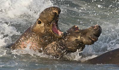 Dominant Male Elephant Seal