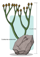 And early vascular plant, Cooksonia