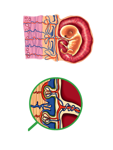 Illustrates how the fetus is attached to the placenta by the umbilical cord