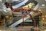 A fossil of a Tyrannosaurus Rex
