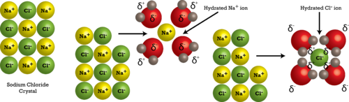When salt dissolves, the component ions are surrounded by water molecules