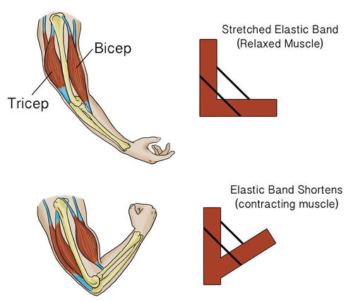 Opposing muscles example