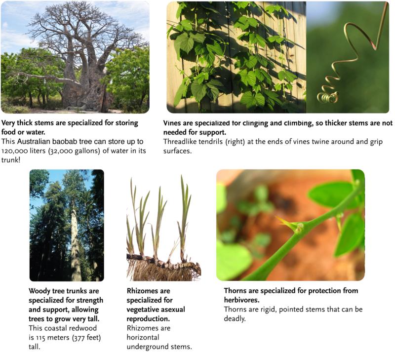 Stem specializations: Baobad, Redwood, Vines, Vine tendrils, Rhizomes, Thorns