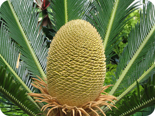 Cycads bear their pollen and seeds in cones on separate plants