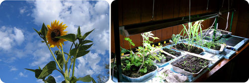 Plants photosynthesize using sunlight or artificial light