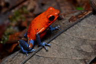 Brightly colored poison dart frogs have toxins in their skin