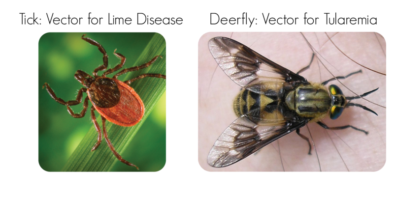 Bacterial disease vectors include ticks and deerflies