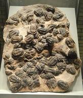Trilobites are good index fossils