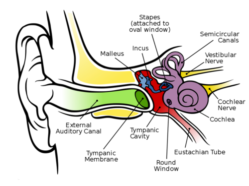 This diagram illustrates the parts of the human ear