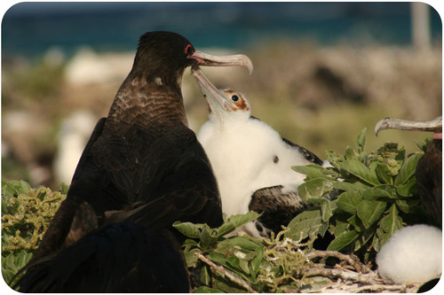 A great frigatebird and its chick