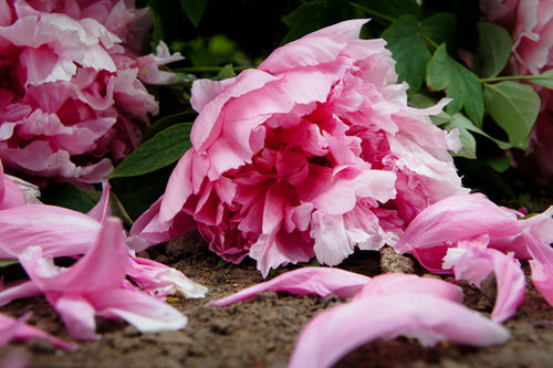 The hormone ethylene causes flower petals to fall from a plant, a process known as abscission