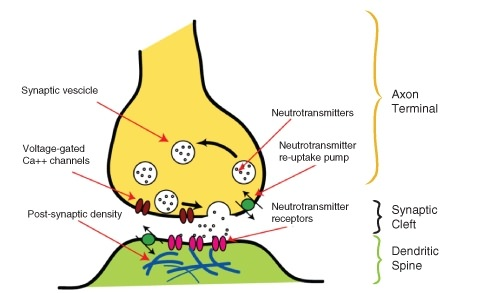 Drugs And The Nervous System Read Biology Ck 12 Foundation