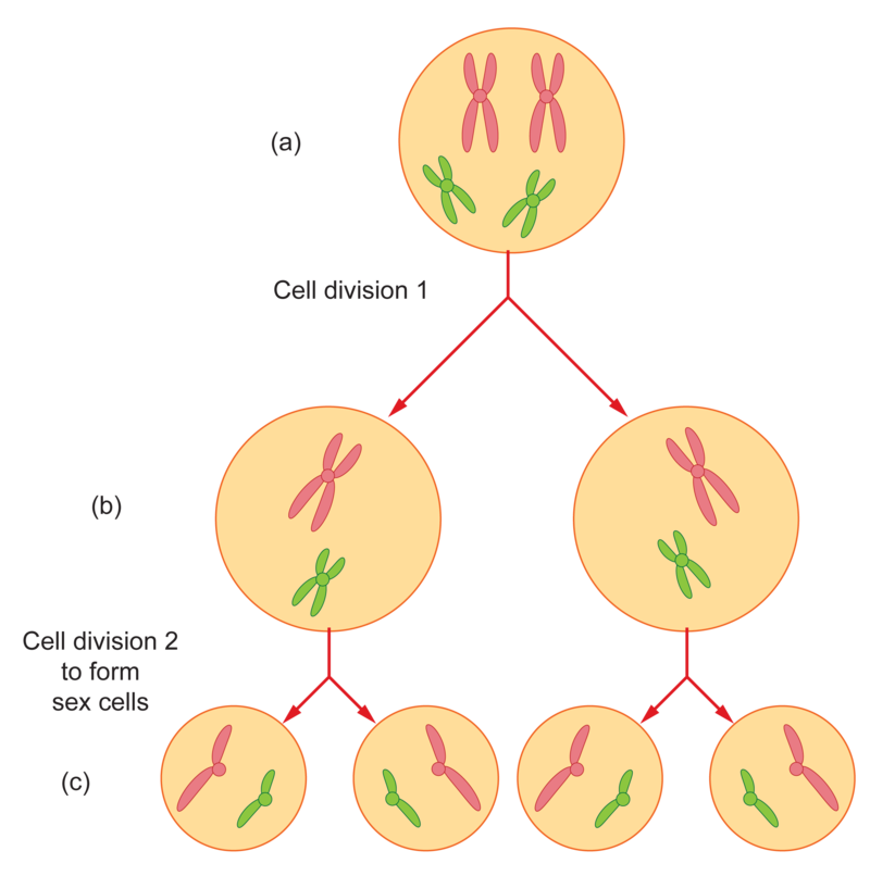 Figure 43 Meiosis A The First Cell Has 2 Pairs Of Duplicated Chromosomes B After Division Each Receives One Chromosome