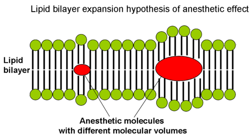 Diagram illustrating the lipid bilayer hypothesis for anesthetics