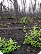Secondary succession, plants growing after a forest fire