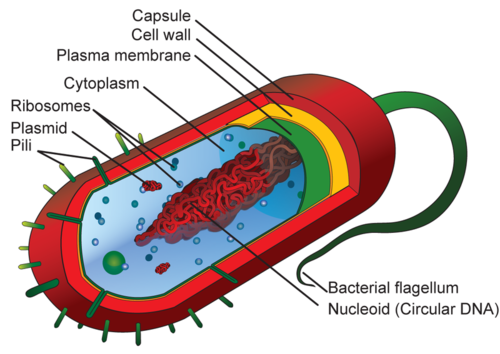 A diagram of a typical prokaryotic cell and its structure