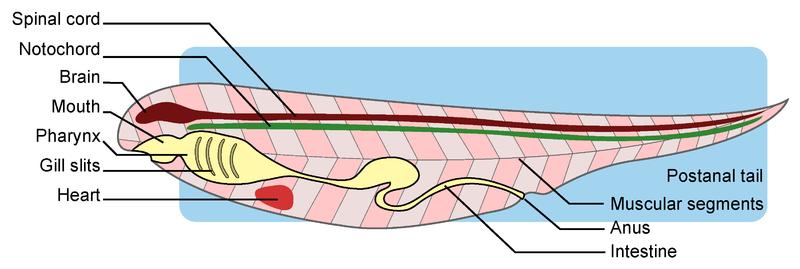 Echinoderms and Invertebrate Chordates
