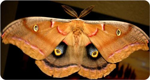 Moth Eye Spots