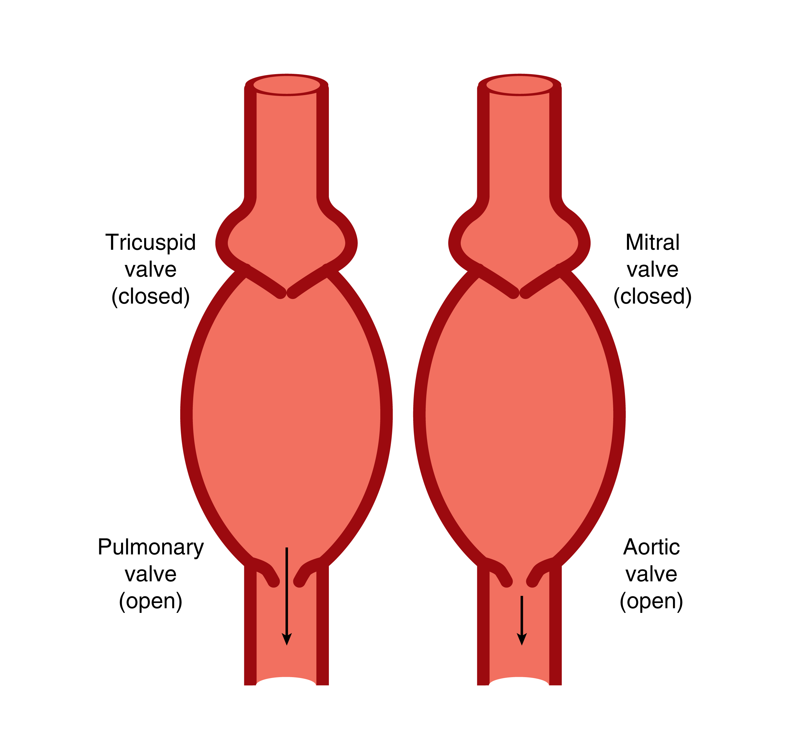The heart ck 12 foundation during diastole filling the heart works like a filling siphon pump the inlet valves tricuspid and mitral are open but the outlet valves pulmonary and pooptronica